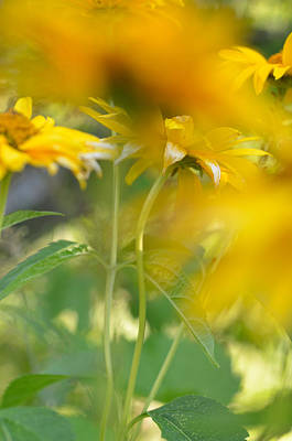 Photograph - Heliopsis Blur by Janet Rockburn
