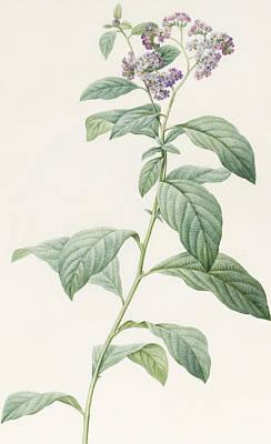 Leaf Drawing - Heliotropium Corymbosurn by Pierre Joseph Redoute