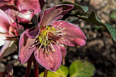 Photograph - Hellebore by Alana Thrower