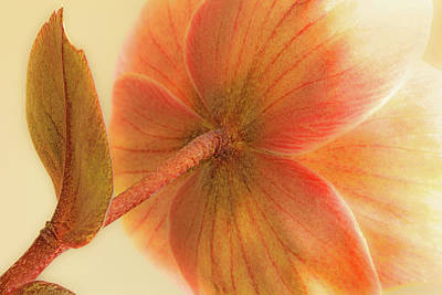 Photograph - Hellebore by Bob Cournoyer