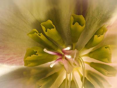 Photograph - Hellebore Closeup by Jean Noren