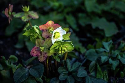 Photograph - Helleborus From Her Garden by Davorin Mance