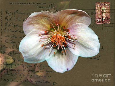 Photograph - Helleborus On Vintage 1950 Postcard by Nina Silver