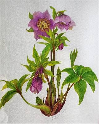 Painting - Helleborus Orientalis ' Tutu ' / Sold by Barbara Anna Cichocka
