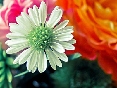 Photograph - Hello Daisy by Colleen Kammerer