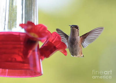 Photograph - Hello Hummingbird by Carol Groenen
