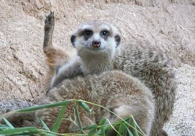 Meerkat Wall Art - Photograph - Hello by Lori Seaman
