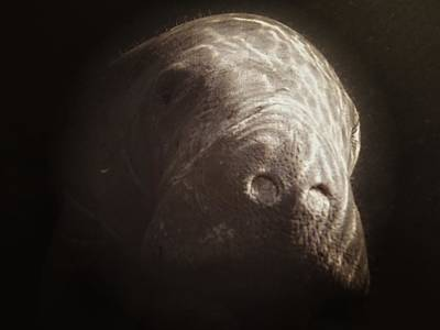 Photograph - Hello Manatee by Sheri McLeroy