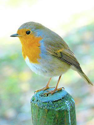 Photograph - Hello Robin by Richard Gibb