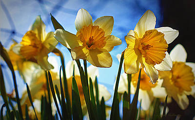 Daffodils Photograph - Hello Spring by Cricket Hackmann