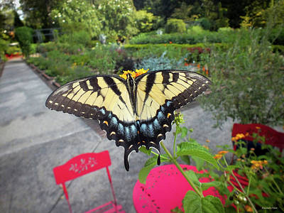 Photograph - Hello Swallowtail  by Hannah Underhill