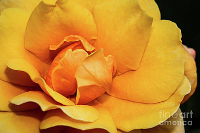 Photograph - Hello Yellow Rose by Sabrina L Ryan