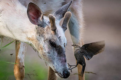 Trophy Buck Photograph - Helping With The Bugs by Paul Freidlund