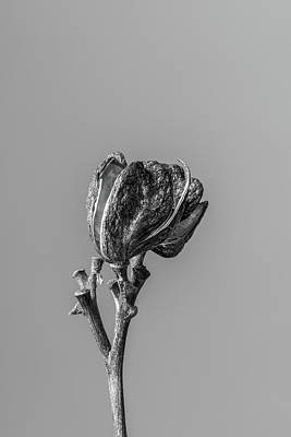 Photograph - Hemerocallis Decomposed 1 by Nathan Larson
