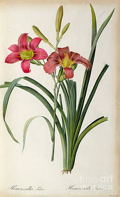 Red Bud Painting - Hemerocallis Fulva by Pierre Joseph Redoute