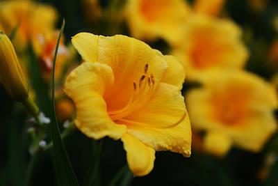 Photograph - Hemerocallis 'stella D'oro'  Daylilies by Toby McGuire