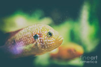 Fresh Water Fish Photograph - Hemichromis Lifalili Fish by Radu Bercan