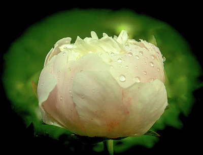 Photograph - Hemispherical Dew Drops On Peony by Douglas Barnett