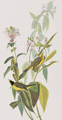 Warbler Wall Art - Painting - Hemlock Warbler by John James Audubon