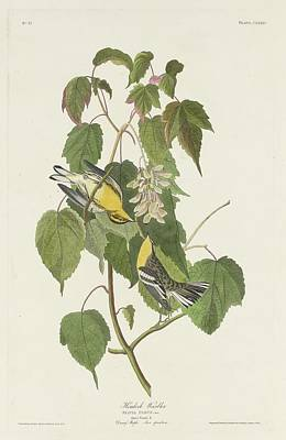 Wings Drawing - Hemlock Warbling by Dreyer Wildlife Print Collections