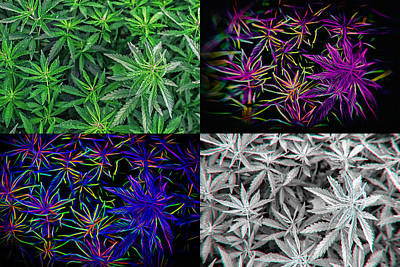 Photograph - Hemp Marijuana Pot Plant Wall Art by John Williams
