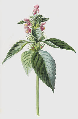 Botanical Drawing - Hemp Nettle by Frederick Edward Hulme
