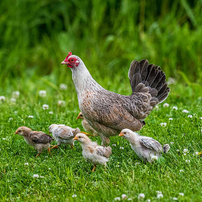 Hens And Chicks Photograph - Hen And Chicks by Paul Freidlund