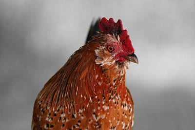 Photograph - Hen by Dylan Punke