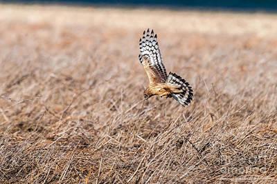 Flevoland Photograph - Hen Harrier by Don De la Rambelje