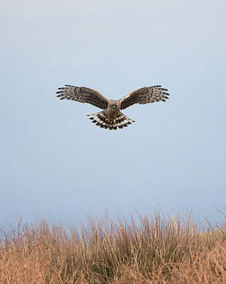 Photograph - Hen Harrier Hovering by Peter Walkden
