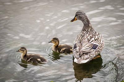 Photograph - Hen Mallard And Ducklings by Robert Potts