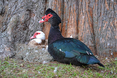 Photograph - Hen On Nest And Drake Muscovy Duck Guard by rd Erickson
