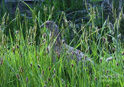 Photograph - Hen Pheasant In Long Grass by Phil Banks