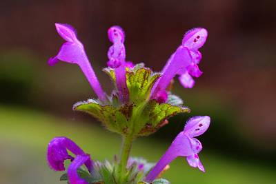 Photograph - Henbit Closeup by Kathryn Meyer