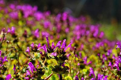 Photograph - Henbit by Kathryn Meyer