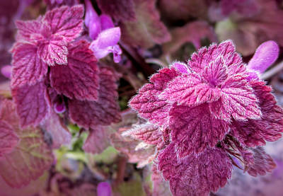 Photograph - Henbit by Valerie Anne Kelly