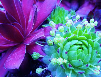 Photograph - Hens And Chicks Gone Wild by Sharon Ackley