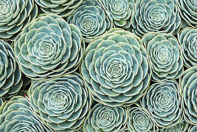 Beauty Photograph - Hens And Chicks Pattern by Oscar Gutierrez