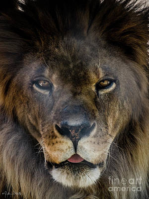 Photograph - Henson The Majestic Lion #1 by Julian Starks