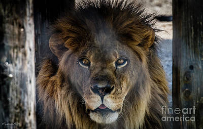 Photograph - Henson The Majestic Lion #2 by Julian Starks