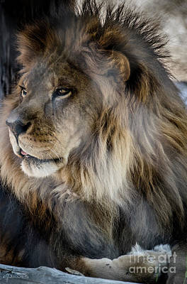 Photograph - Henson The Majestic Lion 3 by Julian Starks