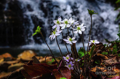 Hepatica And Waterfall Art Print