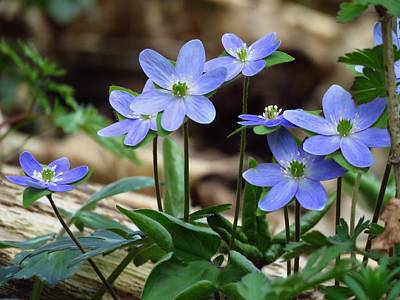 Photograph - Hepatica Blue by Lori Frisch
