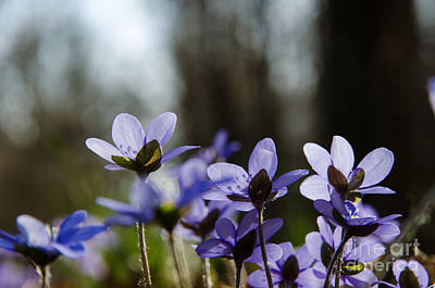 Photograph - Hepatica Closeup by Kennerth and Birgitta Kullman