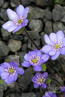 Photograph - Hepatica by Frank Townsley