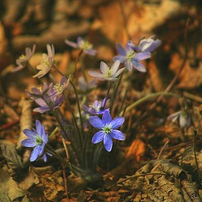 Photograph - Hepatica  by Jim Vance