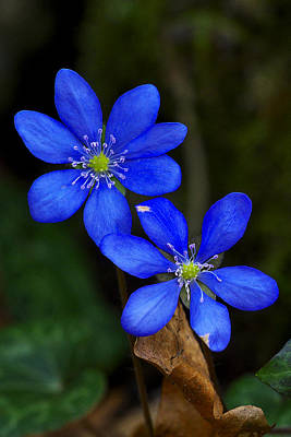 Photograph - Hepatica Nobilis by Ivan Slosar