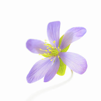 Photograph - Hepatica On White by Ari Salmela
