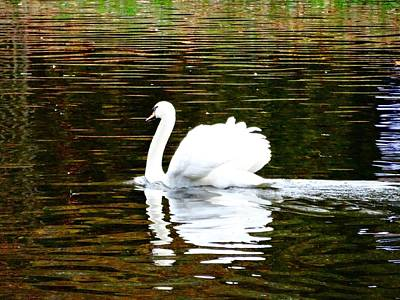 Photograph - Her Majesty's Swan by Alan Lakin
