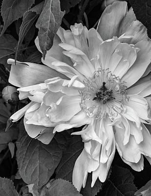 Garden Photograph - Her Majesty Bw by Steve Harrington